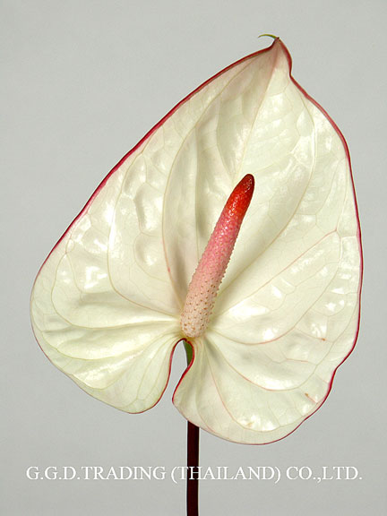 Anthurium Types for Export and Wholesale from BangkokFlower of Thailand